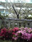160414_1716~02桜とつつじ.jpg